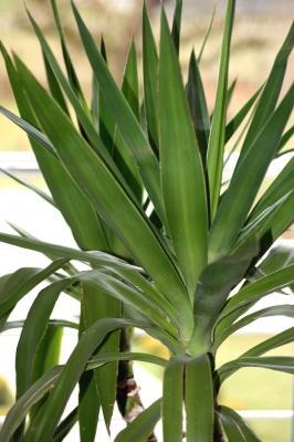 Welche zimmerpflanze empfehlung pflanzen pflege for Zimmer yucca palme bluht