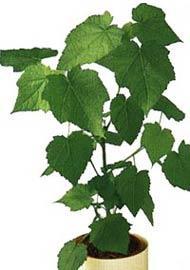 Welche zimmerpflanze empfehlung pflege pflanzen pflanzenpflege - Zimmerlinde bilder ...