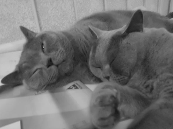 2 BKHs x3 - (Katze, Rasse)