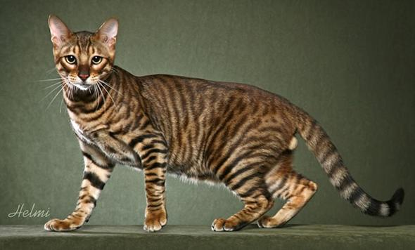 Large Domestic Cats That Look Like Tigers