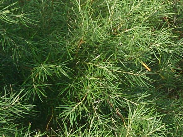 Blätter in groß - (Garten, Pflanzen, Baum)