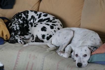 Bilduntertitel eingeben... - (Tiere, Hund, Dalmatiner)