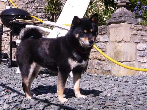 shiba inu - (Hund, Katze, Welpen)
