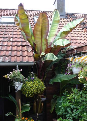 bananenpflanze braucht dringend hilfe pflanzen blumen zimmerpflanzen. Black Bedroom Furniture Sets. Home Design Ideas