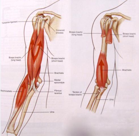 langer und kurzer Bizeps - (Arzt, Muskeln, Fitnessstudio)