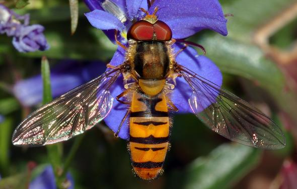 Stechfliege - (fliegen, Insekten, Bienen)