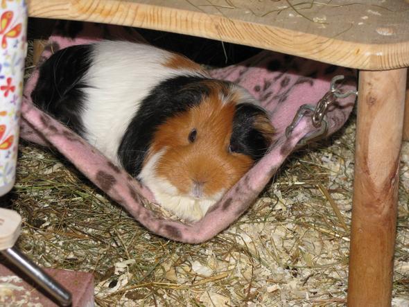 Hängematte - (Tiere, Haustiere, Meerschweinchen)