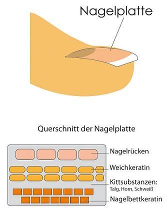 Nagel - (Nägel, Fingernägel, fußnägel)