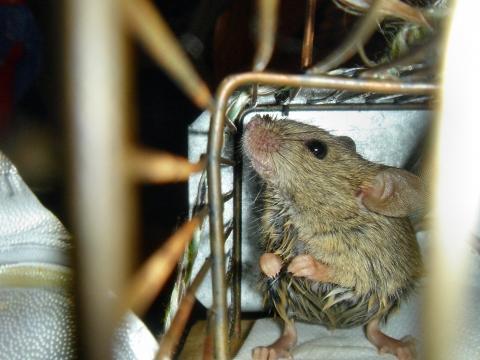 Wie Fange Ich Am Besten Ratten Und Mause Fangen