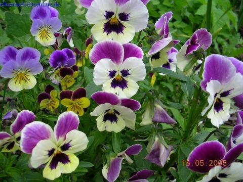 Stiefmütterchen - (Tipps, Garten, Blumen)