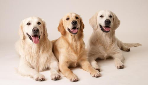 GoldenRetrievers - (Hund, Namen, Golden Retriever)