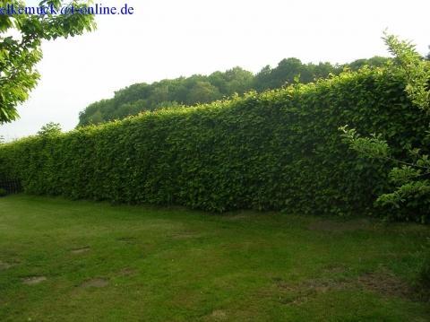 Hainbuchenhecke - (Biologie, Baum)