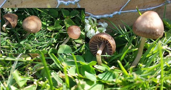 Heudüngerling - (Garten, Pilze, Art)