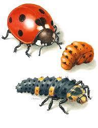 Entwicklung - (Insekten, Goldig)