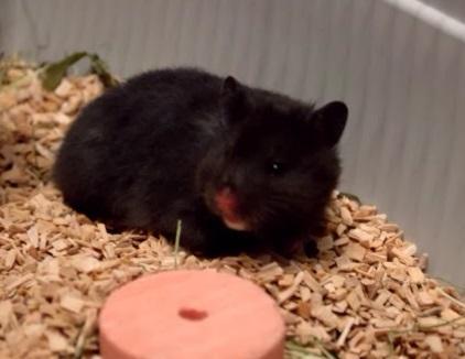 Oreo (: - (Tiere, Haustiere, Hamster)