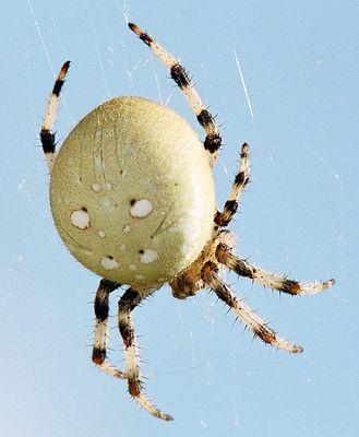 Spinne - (Tiere, Insekten, Spinnen)