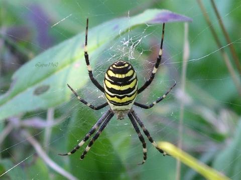 Zebraspinne - (Angst, Insekten, Spinnen)