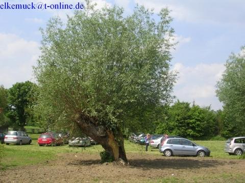 g rtnerfrage gespaltener weidenbaum was tun pflege pflanzen. Black Bedroom Furniture Sets. Home Design Ideas