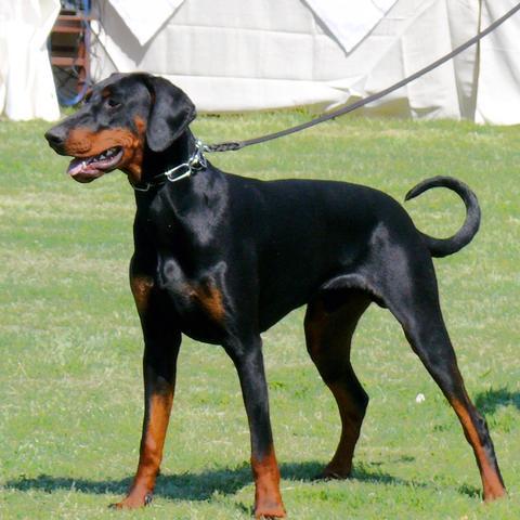 Dobermann Die Ohren Hund Ohr Zucht