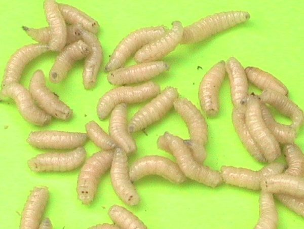 würmer in der küche | trafficdacoit.com - hausgestaltung ideen - Würmer Küche