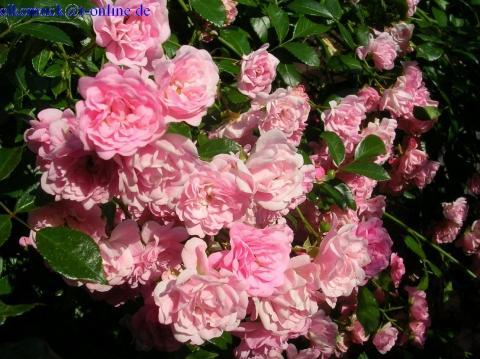 The Fairy - (Garten, Rosen)