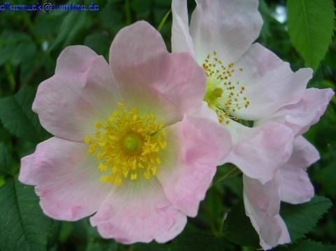 Rosa canina - (Garten, Rosen)