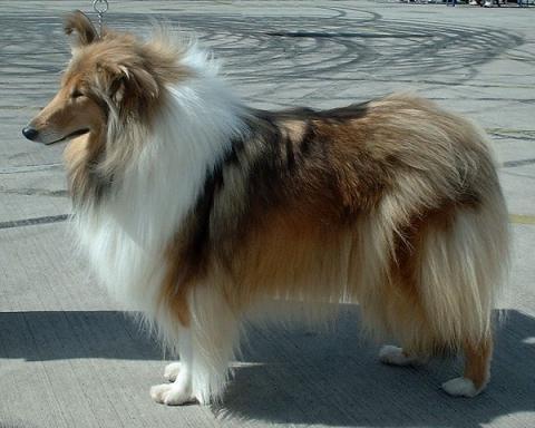 Collie.Quelle:Wikipedia - (Hund, Hunderasse, fuchs)