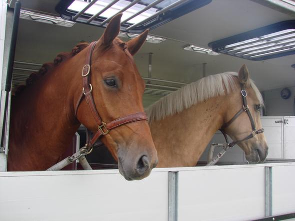 Braunes Halfter - (Tiere, Pferde, reiten)