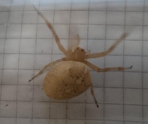 Weiße Spinne - (Natur, Spinnen, Spinnentiere)