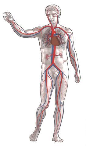 Bildautor: Sansculotte/Wikipedia Lizenz: CC-BY-SA 2.5 - (Medizin, Anatomie, Venen)