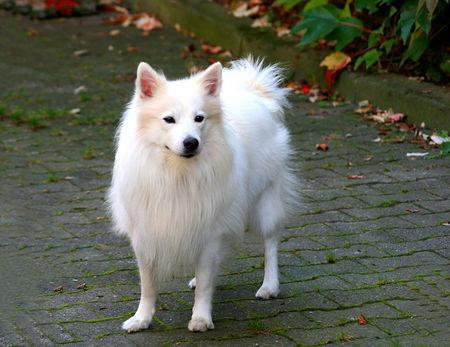 japanischer Spitz - (Tiere, Hund, Hunderasse)