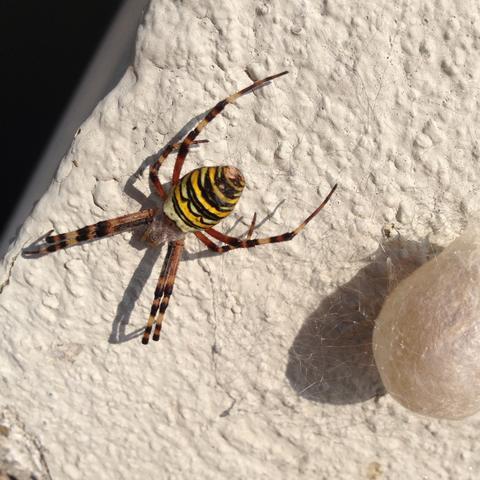 Wespenspinne (Zebraspinne) eine der schönsten heimischen Spinnen.  - (Biologie, Spinnen)