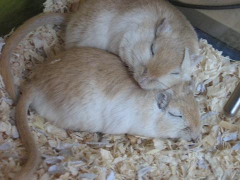 Penn-Möppelchens - (Tiere, Maus, Terrarium)