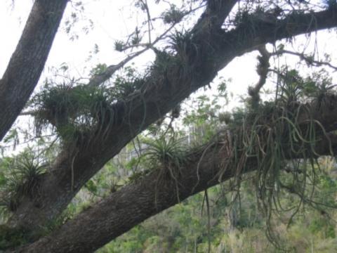 Epiphyten- Stamm - (Pflanzen, Wurzel)