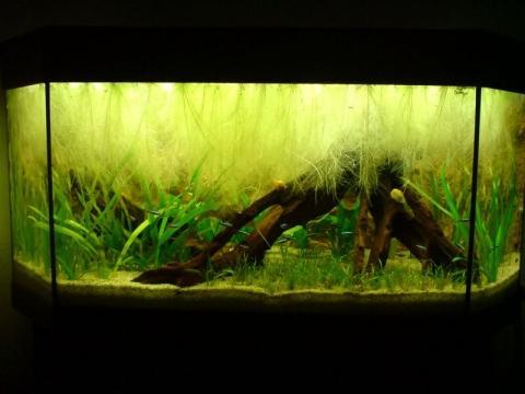 muschelblume im aquarium