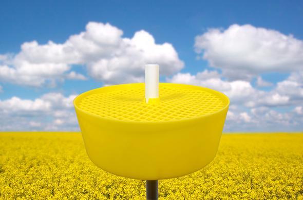 Gelbfangschale im Rapsfeld - (gelb, Wespen)