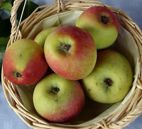 Apfel Roter Hauptmann - (Garten, Obstanbau, apfelsorten)