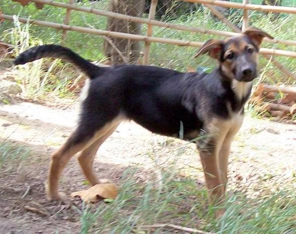 Schäferhund-Labrador - (Hunderassen, Mischling)