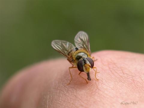 berall schwebfliegen im garten was tun insekten. Black Bedroom Furniture Sets. Home Design Ideas