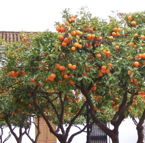 Orangen - (Wetter, Spanien)