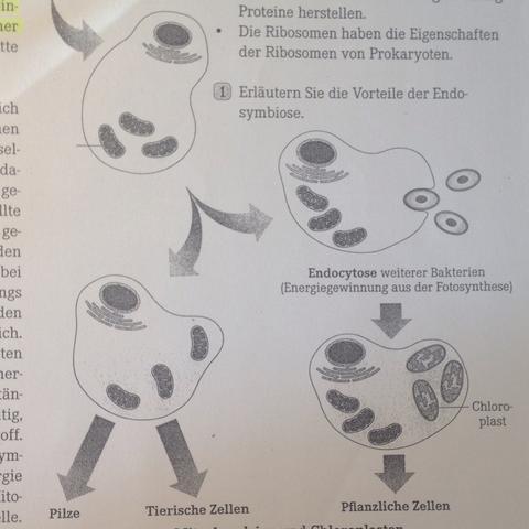 Tierzelle, Pflanzenzelle Endosymbiontheorie  - (Biologie, Zellen, Eukaryoten)