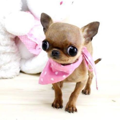 Teacup Hunde Qualzucht