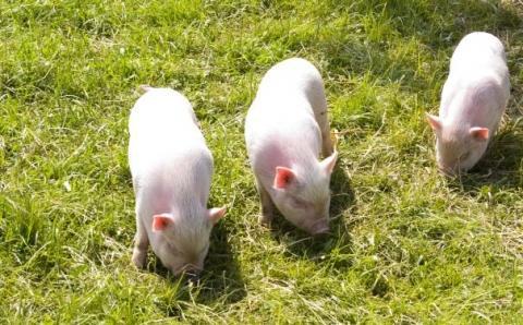 minnischweinchen - (Rasen, wählen, Minischwein)
