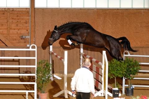wie hoch k nnen hannoveraner pferde springen stockmass 163 cm. Black Bedroom Furniture Sets. Home Design Ideas
