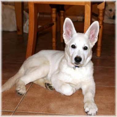 Amerikanisch Canadisch weißer Schäferhund - (Film, Tiere, Hund)