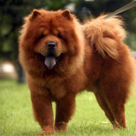 Das ist ein Chow Chow : ) - (Hund, Name, Art)