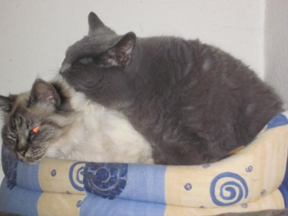 Lilly und Topo betreiben Fellpflege - (Tiere, Katze, Katzen)