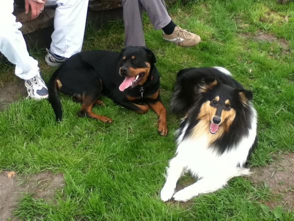 Im Garten über 2 Jahre - (Hund, Rottweiler, Schnauze)