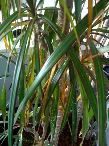 wei er pelziger belag auf palme wie kann ich sie retten krankheit pflanzen zimmerpflanzen. Black Bedroom Furniture Sets. Home Design Ideas