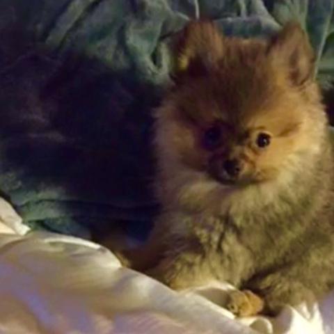 4 Monate alter Zwergspitz  - (Hund, süß)